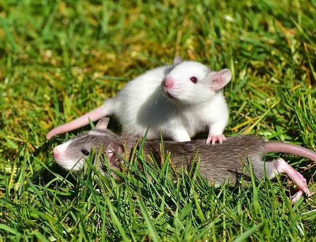 Eliminer les rats à Paris